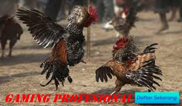 Cara Gampang Punya Akun Adu Ayam Dengan Depo 100% Murah